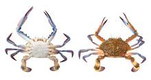 Flower Crab Or Blue Swimmer Cr...