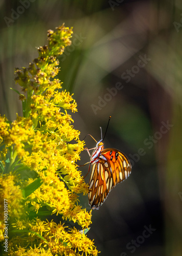 Gulf Fritillary on Tall Goldenrod along the nature trail in Pearland!