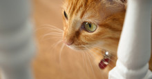 Ginger Cat Green Eyes Domestic