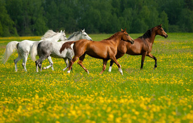 Fototapeta Koń Beautiful horses on freedom in the field
