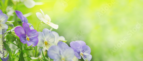 colorful pansy flowers on green background in a garden - 308321722