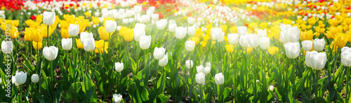 Colorful tulips blooming in a field