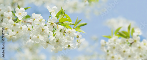 Obrazy rośliny  spring-blossom-background-blooming-cherry-tree-white-flowers-on-a-tree