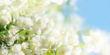 Jasmine Flowers In A Garden