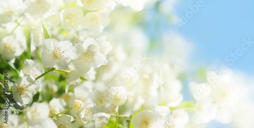 Valokuvatapetti jasmine flowers in a garden