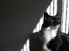 Tuxedo Cat In The Shadows