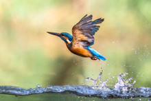 Common European Kingfisher Eme...