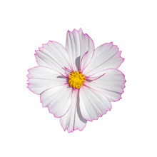 Cosmos Flower Blossom White Isolated On White Background. Fresh Natural Blooming Cosmos Flower Top View Isolate