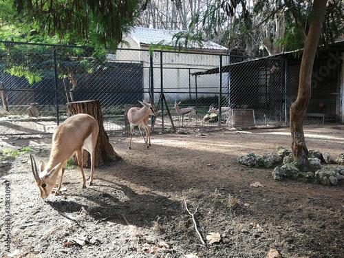 Deer in the zoo of Algiers Canvas Print