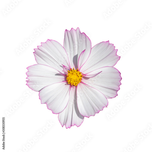 Cosmos flower blossom white isolated on white background Canvas Print