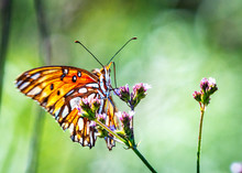 Gulf Fritillary On Purple Wild Flowers Along The Nature Trail In Pearland!