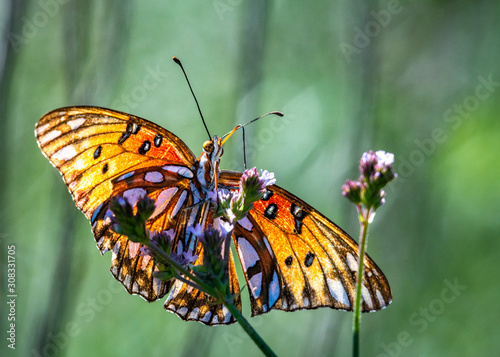 Gulf Fritillary spreading its wings on purple wild flowers along the nature trail in Pearland!