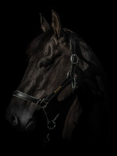 Black Photo Of A Quarter Horse, Looking To The Left.