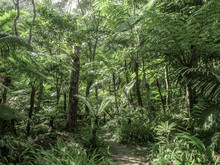 Giant Fern In Deep Tropical Forest