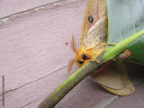 View of the underside of a giant silk moth, polyphemus, climbing on a magnolia l Fototapet