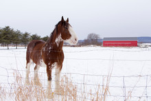Side View Of Tall Handsome Chestnut Clydesdale Horse With Sabino Markings Standing In Field Covered In Fresh Snow During A Winter Afternoon, Quebec City, Quebec, Canada