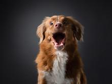 Funny Dog Face Screaming. Catches Food. Happy Nova Scotia Duck Tolling Retriever In Studio