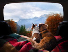 Dog Camping In The Car. Nova Scotia Duck Tolling Retriever And Jack Russell Terrier In The Luggage Compartment. Pets On Vacation.