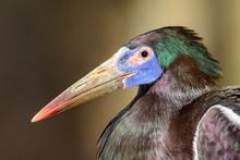 Abdim's Stork (Ciconia Abdimii...