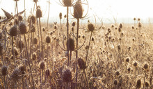 Field Of Thistle Plants
