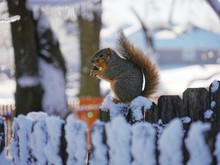 A Squirrel Sits On A Snow-cove...