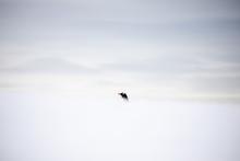 Gentoo Penguin In Snow, Antarc...