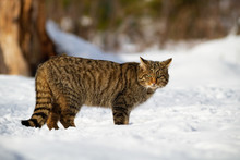 European Wildcat, Felis Silves...