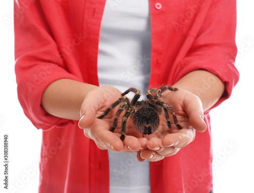 Fototapeta Woman holding striped knee tarantula on white background, closeup
