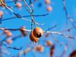 Echte Mispel. (Mespilus germanica) Nahaufnahme von orange-braunen kugelig Früchten