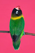 canvas print picture - Beautiful lovebird on a branch