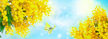 Shallow Depth Blooming Spring Mimosa, Blue Sky And Butterfly Closeup, Sun Panorama. Spring Floral Mixed Media Art. Artistic Image. Pastel Toned. Macro Soft Focus. Nature Greeting Card Background