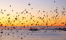 Starlings Flying In Formation ...