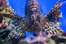 Lionfish (dendrochirus Zebra),...