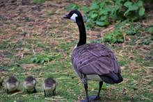 Canada Goose Family In Park Na...