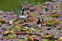Canada Goose Family In Park Pond Among Water Lily Leaves Nature Detail