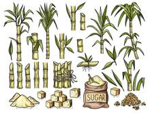 Sugar Cane. Beverage Engraving Food Agriculture Sugar Production Vector Colored Hand Drawn Illustrations. Sugarcane Eco, Growing Botanical Stalk Drawing