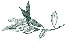 Vector Olive Branch Drawing, E...