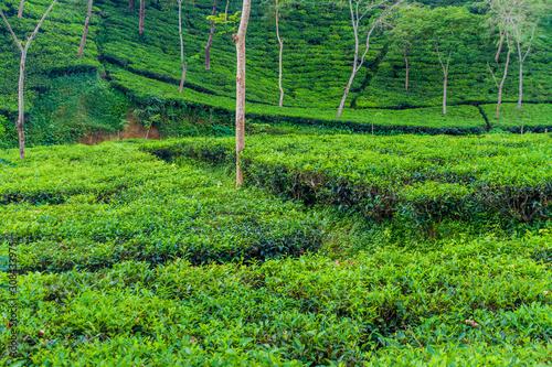 Photo Tea gardens near Srimangal, Bangladesh