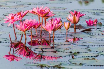 Jezero s lopočima u Sundarbansu u Bangladešu