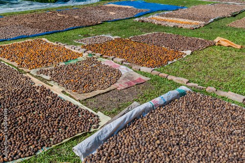 Areca (betel) nuts are being dried in a village in Bangladesh Canvas Print