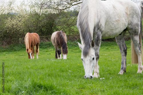 Fototapeta horses grazing in a meadow