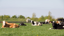 Herd Of Cows Grazing In Field ...
