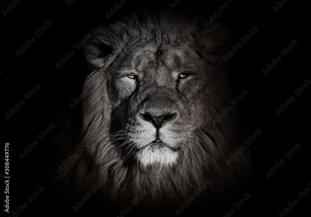 Fototapeta bright orange eyes, bleached face lion portrait on a black background. Full-face portrait - chic hair. powerful lion male with a chic mane consecrated by the sun.