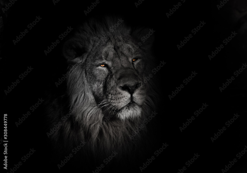 Fototapeta bright orange eyes, bleached face lion portrait on a black background. lying around and looking patronizing. powerful lion male with a chic mane consecrated by the sun.