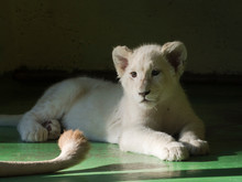 Young White Lion Cub In The Sh...