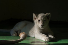 Young White Lion Cub In The Shadow