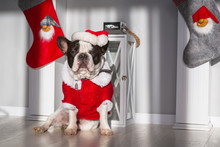 French Bulldog In Santa Costume Is Sittng On The Floor At The Fireplace With Christmas Decorations