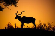 Kudu Bull Dark Silhouette At S...