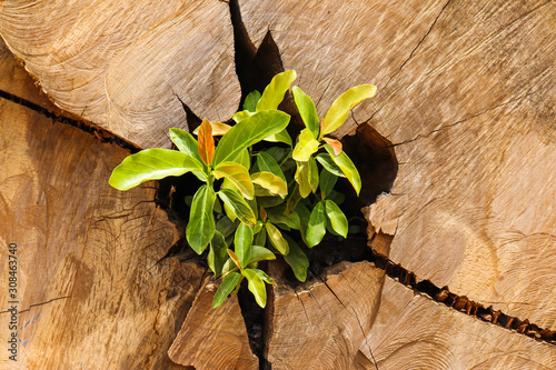 Photo Sprout of a tree sprouting on its trunk after cutting for lumber production