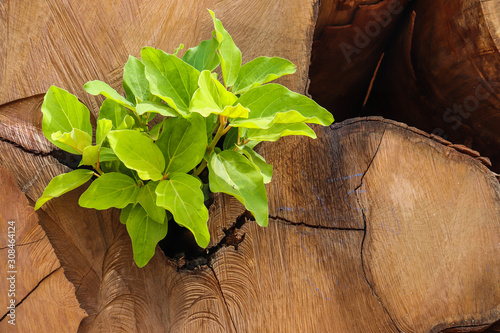 Obraz na plátne Sprout of a tree sprouting on its trunk after cutting for lumber production